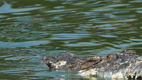 The battle of alligator in water. stock video footage