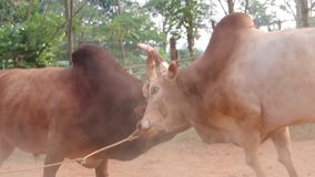 The battle of cattle collided popular sport of local Asian stock video footage