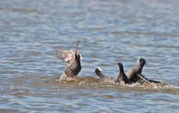 The battle of the Coots Royalty Free Stock Photography