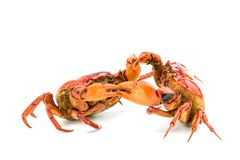 Battle of the crab. Isolate on white background Royalty Free Stock Images