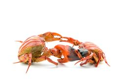 Battle of the crab Royalty Free Stock Photography