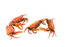 Battle of the crab. Isolate on white background Royalty Free Stock Photography