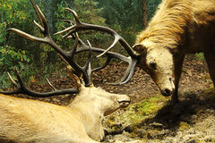 The battle of deer. The two elk fighting for territory Stock Image