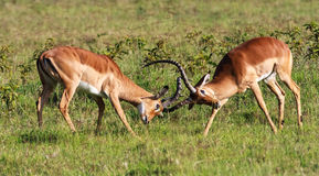 The battle for the female impala. Kenya Stock Image