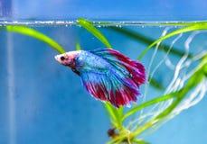 Battle fish Royalty Free Stock Image