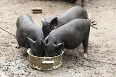 The battle for food: small pigs eating in a muddy background. Small hungry pigs eating in a muddy background Royalty Free Stock Image