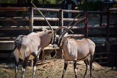 Battle Gemsbok oryx gazella Hit him. Gemsbok oryx gazella at the zoo Royalty Free Stock Image
