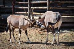 Battle Gemsbok oryx gazella Hit him. Gemsbok oryx gazella at the zoo Royalty Free Stock Photo