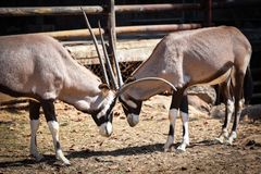 Battle Gemsbok oryx gazella Hit him. Gemsbok oryx gazella at the zoo Stock Image