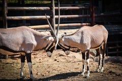 Battle Gemsbok oryx gazella Hit him. Gemsbok oryx gazella at the zoo Stock Photography
