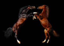 Battle of horses. Isolated on black Stock Photography