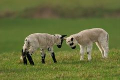 Battle of the Lambs Royalty Free Stock Photos
