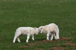 Battle of the Lambs stock photography