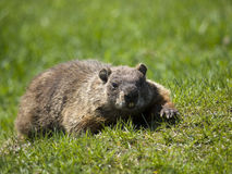 Battle mamrmot wild. Wild marmot in the grass looking at camera Stock Image