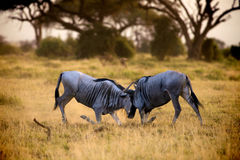 Battle on the plains of the Amboseli. Kenya royalty free stock photos