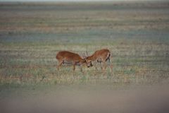 The battle of a powerful males during the rut. Saiga tatarica is listed in the Red Book, Chyornye Zemli Black Lands Nature Reserve, Kalmykia region, Russia royalty free stock image