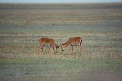 The battle of a powerful males during the rut. Saiga tatarica is listed in the Red Book, Chyornye Zemli Black Lands Nature Reserve, Kalmykia region, Russia stock image