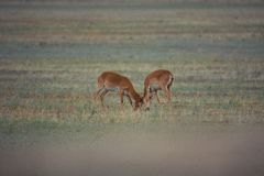 The battle of a powerful males during the rut. Saiga tatarica is listed in the Red Book, Chyornye Zemli Black Lands Nature Reserve, Kalmykia region, Russia stock photo