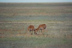 The battle of a powerful males during the rut. Saiga tatarica is listed in the Red Book, Chyornye Zemli Black Lands Nature Reserve, Kalmykia region, Russia royalty free stock photos