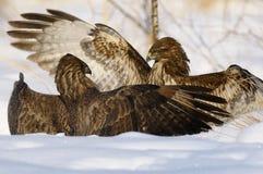 Battle of predators. A Common Buzzard landing on a bale of straw Stock Photo