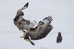 Battle between buzzards. The fierce battle in flight between two predatory birds - common buzzards, buteo buteo, for the territory and the prey in winter on the royalty free stock photo
