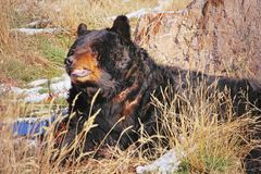 Battle-scarred Black Bear royalty free stock photos