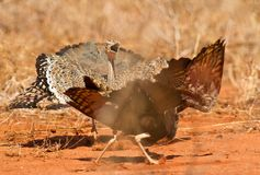 Battle between two Bustards Stock Image