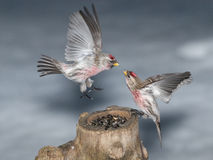 Battle of two Redpolls on the feeder Royalty Free Stock Images