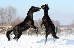 Battle of two stallions. Pair of black horses, young thoroughbred horses, beautiful animals, bloodstock Royalty Free Stock Image