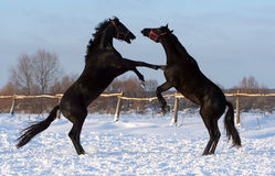 Battle of two stallions. Pair of black horses at liberty, beautiful thoroughbred horses on the white snow, noble animal, game young horses Stock Image