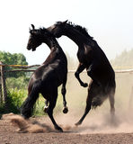 Battle of two stallions. Beautiful thoroughbred horses, pair of black stallions at liberty, horse on its hind legs, noble animal Stock Photos