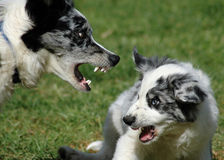 Battle of Wills. Older dog trying to put puppy in it's place stock photo