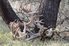 Battles from the past. Two Whitetail Bucks that became caught in antlers leading to death royalty free stock photo