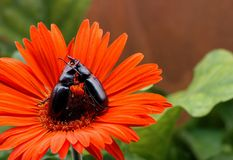 Battling Beetles. On a bright red-orange flower Royalty Free Stock Image