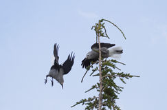 Battling birds are Clark`s Nutcrackers in Crater Lake National P Stock Image