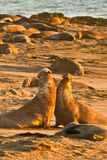 Battling Elephant Seals. Two Bull Northern Elephant Seals Fighting For Dominance stock images