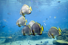 Batts. Short-finned Batfish (Platax novaemaculatus) school swimming over coral reef Stock Image