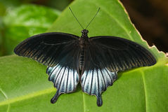 battus philenor pipevine swallowtail 免版税图库摄影