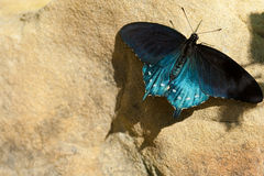 battus philenor pipevine swallowtail zdjęcie stock