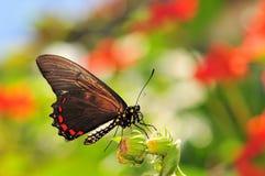 Battus Polydamas Butterfly Stock Photos