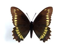 Battus polydamas (Gold-rim Swallowtail) Royalty Free Stock Image