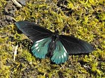 Battus Swallowtail motyl z otwartymi skrzydłami Zdjęcia Stock