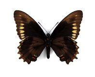 battusguldpolydamas rim swallowtail Arkivfoto