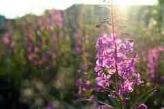 Battuta di fioritura del fiore selvaggio Fotografie Stock