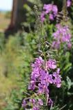 Battuta di fioritura in natura Fotografia Stock