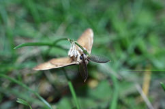Batty Moth Royalty Free Stock Images