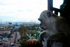 Batu Cave Macaque Monkey. Sitting looking down at visitors and the scenic background of Malaysia Royalty Free Stock Image