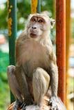 Batu Caves, Long-Tailed Macaque. Stock Photos