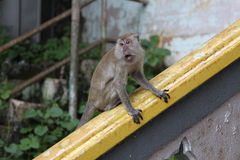 Batu caves monkey Stock Image