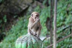 Batu caves monkey royalty free stock image